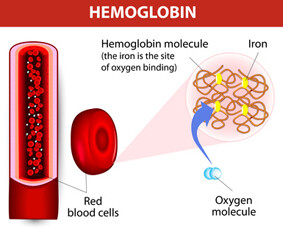 Each haemoglobin molecule can bind with 4 oxygen molecules. Vector diagram.